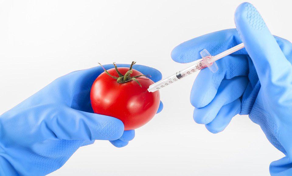 gmos GM Tomato