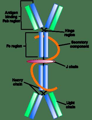 Immunoglobulin-A-IgA-Figure-1
