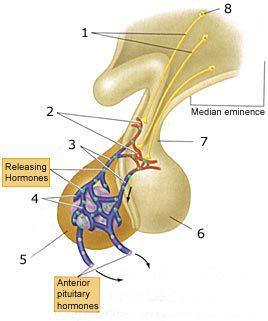 adenohypophysis